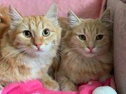 Sibirisches Geschwisterpaar sucht Zuhause