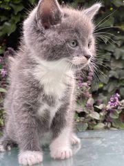 Russian Blue Kätzchen