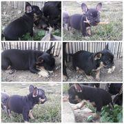 Französische Bulldoggen Welpen Black and