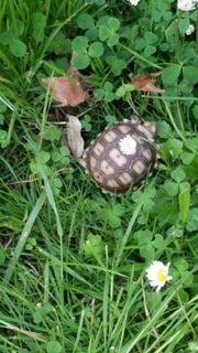 Süsse einjährige Landschildkröten