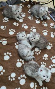 BKH Kitten in Black Silver