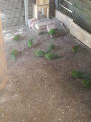 Wildfarbene Ziegensittiche