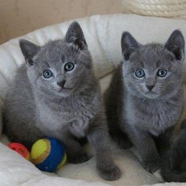 Reinrassige Russisch blau Kitten