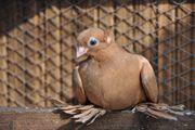 Usbekische Tauben