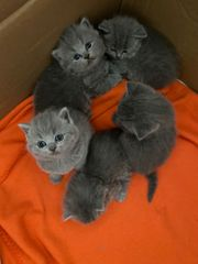 Fünf süße BKH Kitten zu
