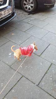 Chihuahua Hündin sehr lieb 1