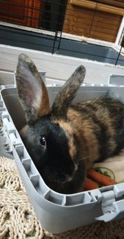 Kaninchen weiblich Isis