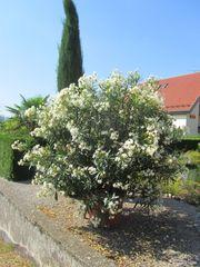 weißer traumhaft schöner Oleander ca