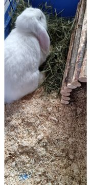 langohr kaninchen weiss mit blauen