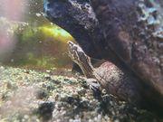 Zwei Moschusschildkröten