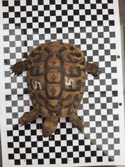 Griechische Landschildkröte Männchen