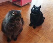 2 erwachsene Katzen zu verschenken