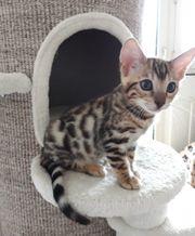 Bengal Kitten Katzenbaby brown spotted