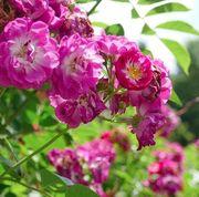 Öfter blühende Ramblerrose Perennial Blue