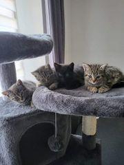 BKH Kitten Mix abgabe bereit
