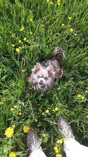 Hübscher Lilac Tan Langhaar Chihuahua