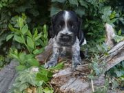 Crocker Spaniel in blauschimmel