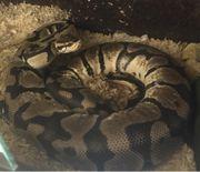 königspython pastel provenbreeder