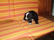 Welpen Berner Sennen Mischlings Hunde