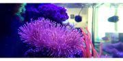 Pilzlederkorallen meerwasser korallen