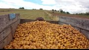 Primstaler Kartoffeln vom Peterberg regional