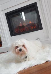 Hund Bichon Malteser Toy