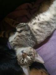 2 Katzenbabys - Kitten 16 Wochen