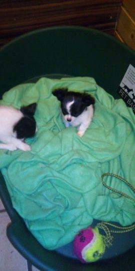 Habe zwei Mini Chihuahua Hündinnen