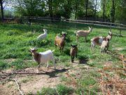 schlachtreife Ziegenböcke ca 1 Jahr