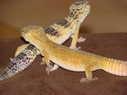2x Leoparden Gecko