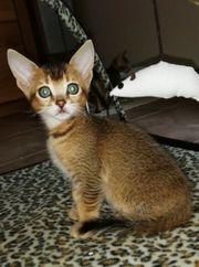 Bengal Abessinier Edelmix Kitten Katzenbaby