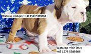 englische Bulldoggenwelpen zu verkaufen gh