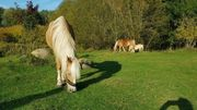 Haflinger Norweger Mix Stute