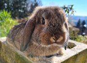 SOFORT kleine Mini Lop Kaninchen