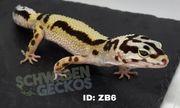 Leopardgeckos Blizzards Zorro Bandit Bold