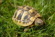 Nachzuchten griechischer Land Schildkröten von