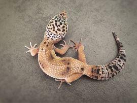 Leopardgecko Weibchen aus 2020
