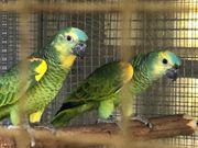 Gelbflügel - Blaustirnamazonen
