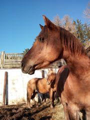 Decksprung in Red Dun Quarterhorse
