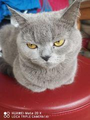 Reinrassige Kitten bald
