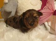 Diamond Blue Merle Yorkshire Terrier