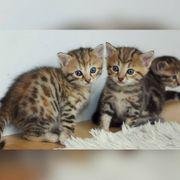 Bengal Kitten Neva Masquarade Mix