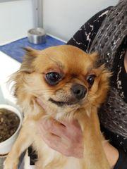 Chihuahua-Mädchen zu verkaufen