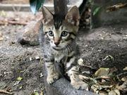 Bengal Mix-Kitten mit Stammbaum