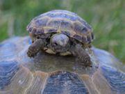 Steppenlandschildkröte