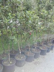 Obstbäumen im Topf
