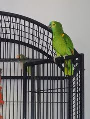 Blaustirnamazone Amazonen Papagei