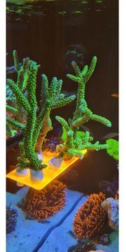 Acropora Enzmann