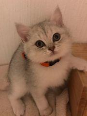 BKH Kitten silver tabby