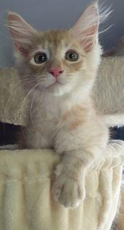 Süsse Maine Coon Kitten